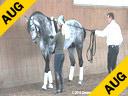 Daniel Ramseier<br> Lecturing<br> Work in Hand<br> Ribery<br> Oldenburg<br> by:Rubils<br> Owner: Daniel Ramseier<br> 6 yrs. old Stallion<br> Training: 3rd Level<br> Duration: 10 minutes